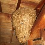 宇部市便利屋ジーケーサービス 山陽小野田市南中川 屋根裏 巨大スズメバチ巣駆除