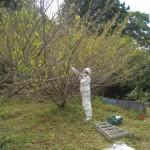 宇部市便利屋ジーケーサービス 宇部市小野 庭園の梅の木 スズメバチ巣駆除